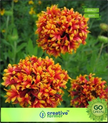 Creative Farmer Indian blanket Pulchella Flower Seed(20 per packet)  available at flipkart for Rs.144