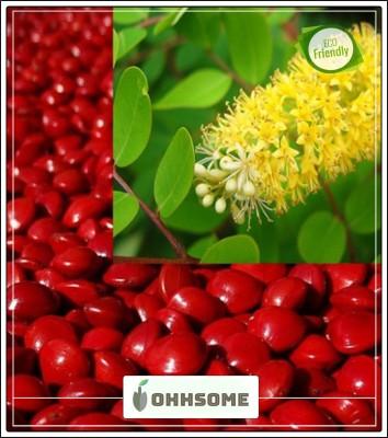 Tree Seed RED SANDALWOOD - Red Chandan / Red Sanders Seed - Pack of