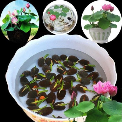 Quality seeds 20pcs/bag Lotus water lily bonsai seed garden hobbies multiple colour Seed(20 per packet)