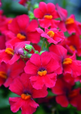 https://rukminim1.flixcart.com/image/400/400/plant-seed/6/g/w/real-seed-70-nemesia-double-mixed-hybrid-imported-flower-seeds-original-imaedgxphrbnrwv7.jpeg?q=90