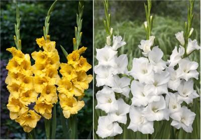 https://rukminim1.flixcart.com/image/400/400/plant-seed/a/m/m/easy-gardening-12-gladiolus-yellow-white-mix-bulbs-original-imaedhekbt6xxzhe.jpeg?q=90