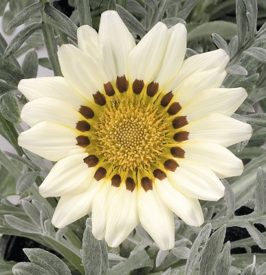 Saaheli Gazania Flower Seeds Seed(10 per packet) at flipkart