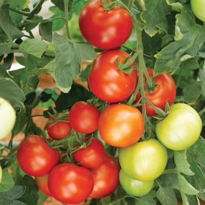 Ecoware Tomato Seed(50 per packet) at flipkart