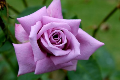 Saaheli Purple Rose Seeds Seed(20 per packet) at flipkart