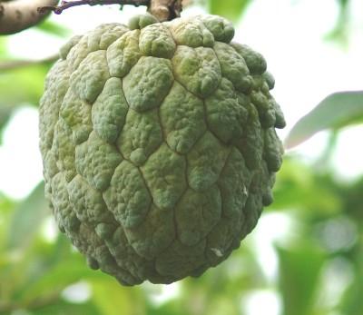Saaheli Annona squamosa Seed(10 Per Packet) at flipkart
