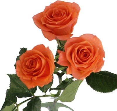 Naturo Bonsai Imported ORANGE ROSE PLANT Seed(20 per packet)