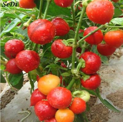 https://rukminim1.flixcart.com/image/400/400/plant-seed/v/d/s/seedlings-india-50-tomato-original-imaedspb55w2uryz.jpeg?q=90