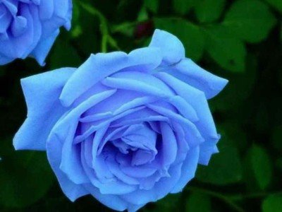Saaheli Blue Rose Seeds Seed(20 Per Packet) at flipkart