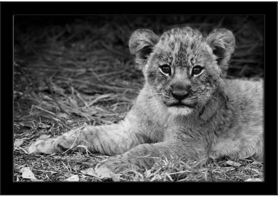 https://rukminim1.flixcart.com/image/400/400/poster/b/b/k/artistic-image-of-a-cute-lion-cub-framed-art-print-original-imaensuuqcytrgzh.jpeg?q=90