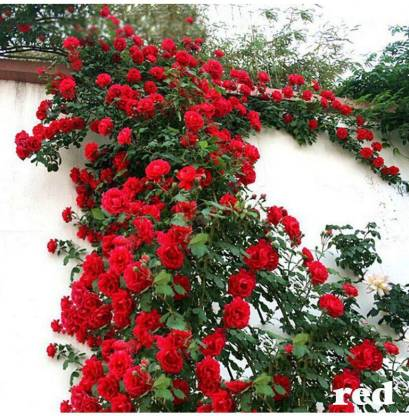Strawberry Pink Climbing Rose Bush Flower Seeds ~ Rare Fragrant Rose 12 PCS
