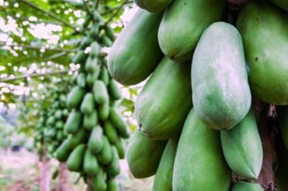 FRESH SEEDS Red Lady F1 Hybrid Papaya Taiwan 786 Variety Seeds(230 Seeds) Seed