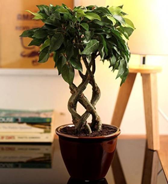FOURWALLS Artificial Ficus Bonsai Plant In A Ceramic Vase (6 Stems, 41 Cm Tall) Multicolor Assorted Artificial Flower  with Pot