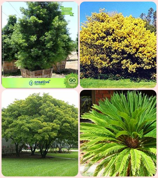 Erica Trees Buy Erica Trees Online At Best Prices In India
