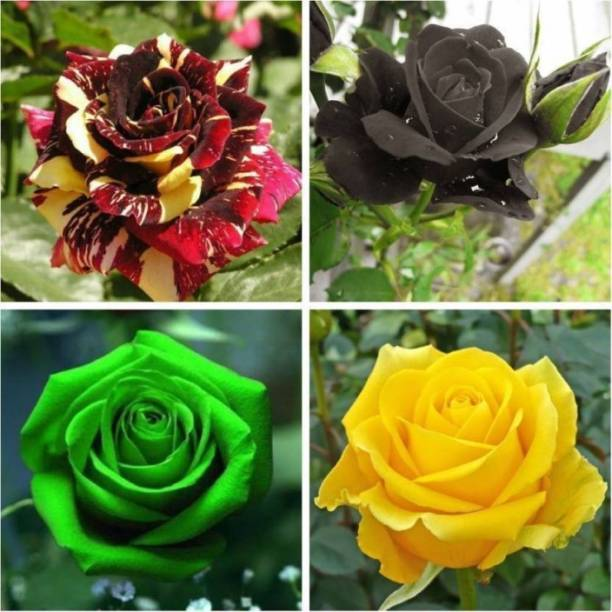 Elif Gardens Rare Exotic 20 Rose Flower Seeds Combo Black Yellow Green Red