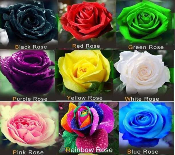 Vs Global Imported Rose 9 Diffe Colours Each 10 Pack 90 Seed