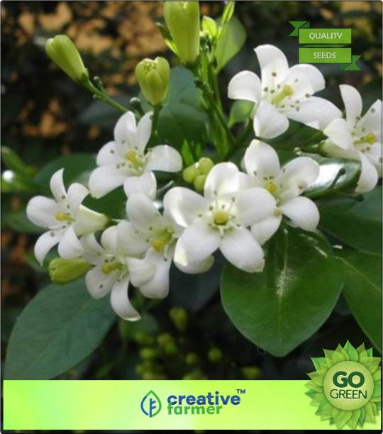 Futaba trees buy futaba trees online at best prices in india creative farmer small white scented flowers seed mightylinksfo