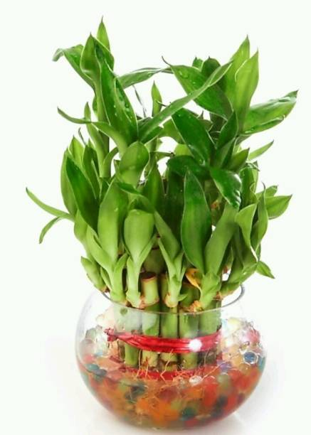 SWASTIK Lucky bamboo plant container Plant Container Set