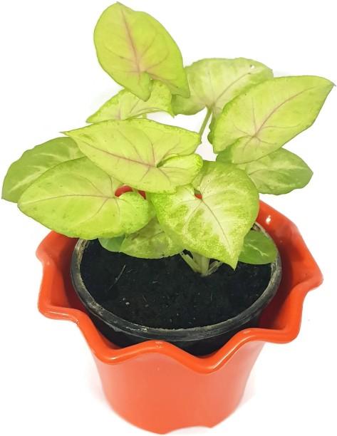 fevicol plants saplings buy fevicol plants saplings online at best rh flipkart com