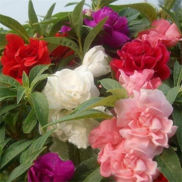 OrchidWala Double Balsam Flower Seeds, Impatiens Balsamina Seed Seed