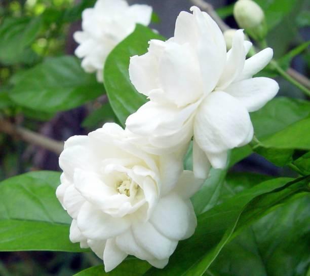 Vamsha Nature Care Jasmine Plant
