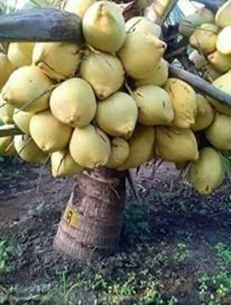 Trothic Gardens Coconut Fruit Plant Dwarf Variety DxT Coconut Tree Huge Production Healthy Hybrid Plant Seed