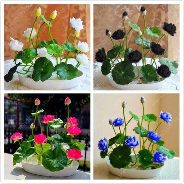 ROSEMERC white,black,red,blue lotus( each 5) 20 Seed