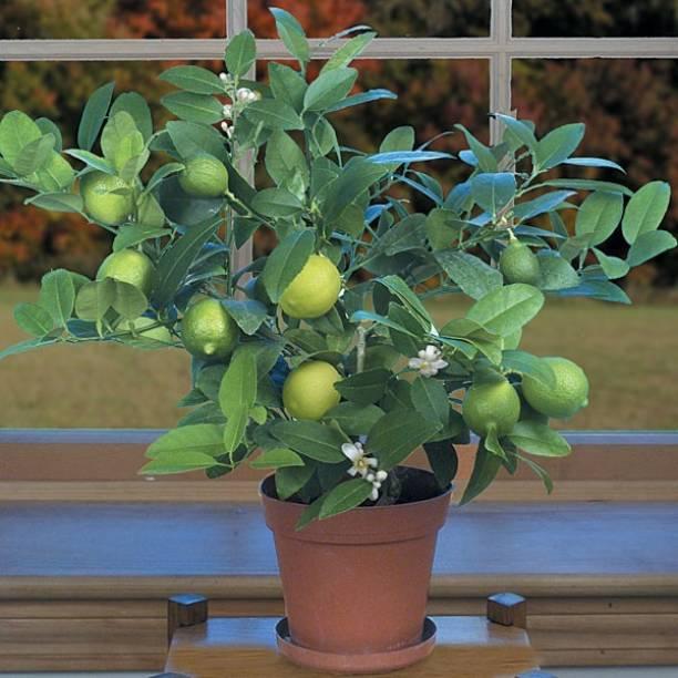Vamsha Nature Care Lemon Plant