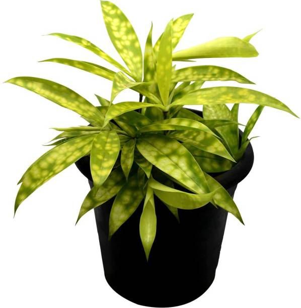 Sri Lalit Arts Plants Saplings Online at Discounted Prices