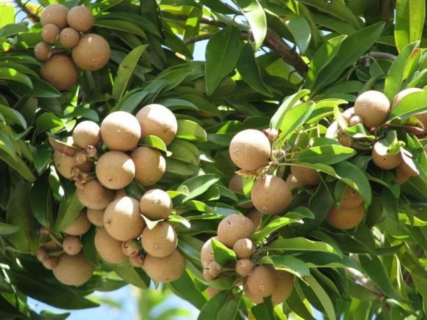 Puspita Chiku Plant
