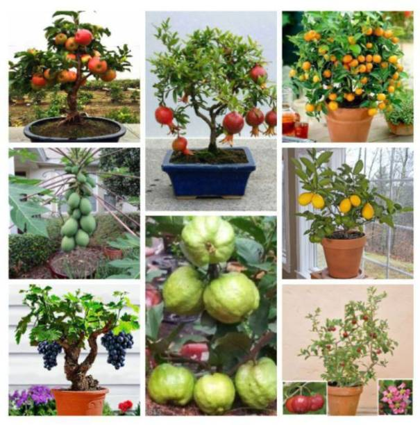 Rosemary bonsai fruit seeds mega combo (apple , ornage , lemon .guava, cherry ,grapes , papaya) Seed