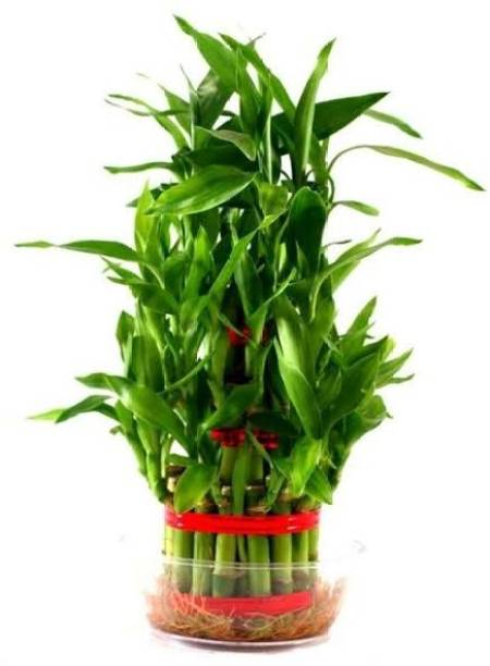 water heaven Two Layer Bamboo Plant