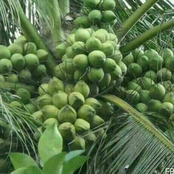 Trothic Coconut Plant