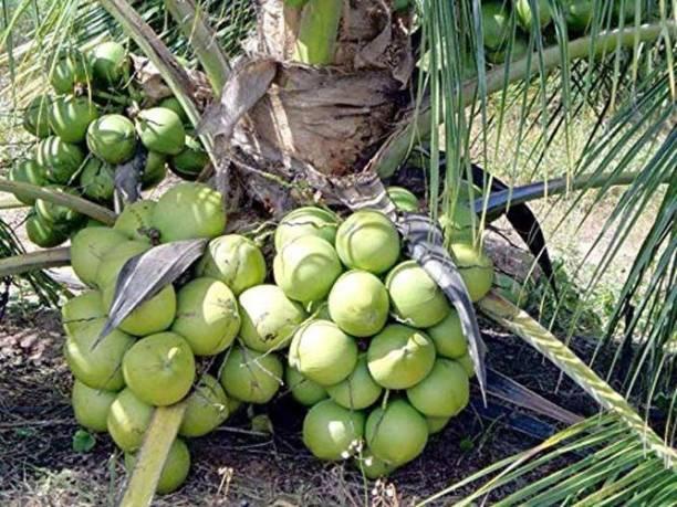 Trothic Gardens Coconut 'Mekong Delta Vietnam Green Dwarf' Live Plant Vietnam Coconut Tree Plant Seed