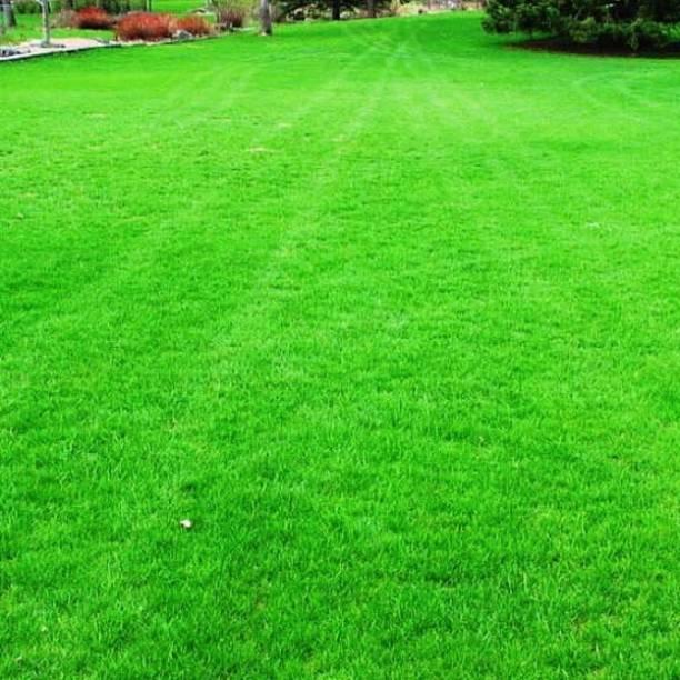 BANDARIS HORTICULTURE GRASS Seed