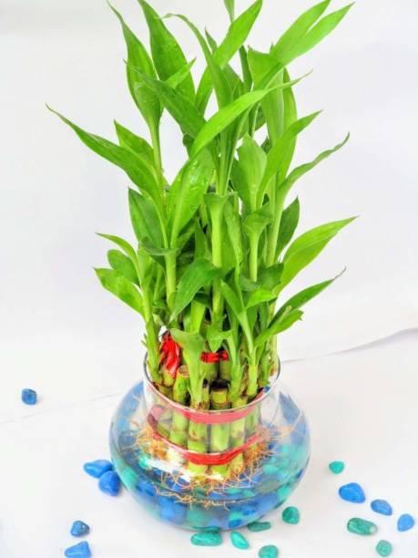 Sansar Nursery Two Layer Bamboo Plant