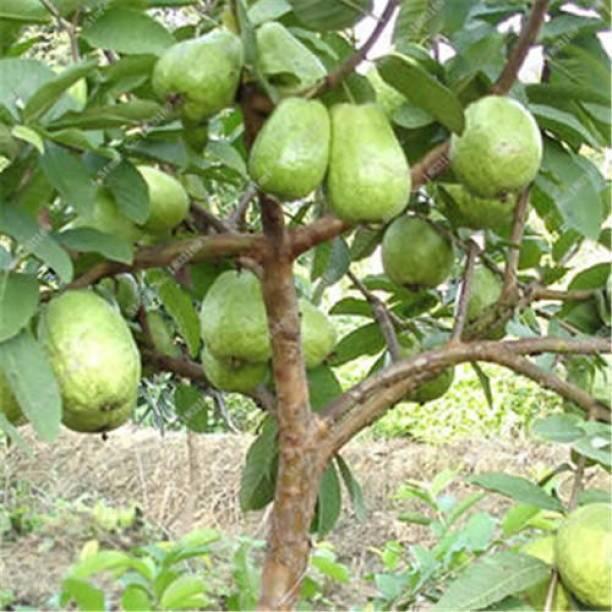 M-Technologies Guava Plant