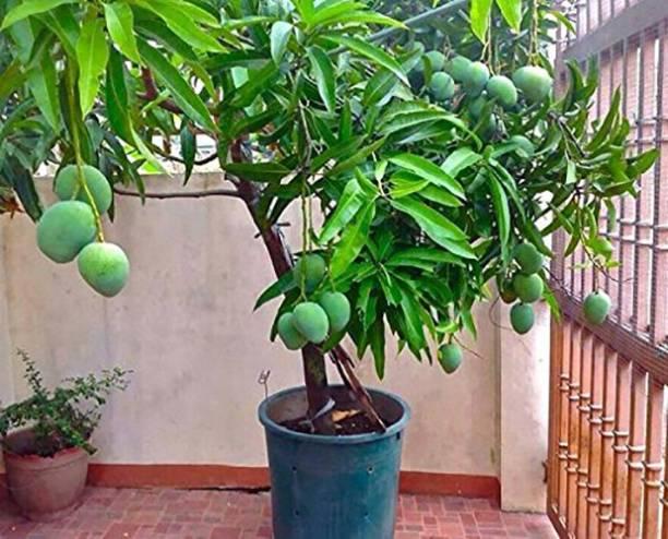 Earth Angels Mango Plant