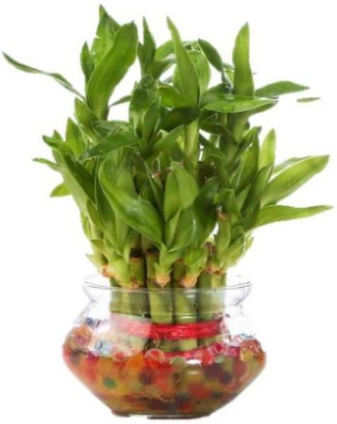 Apogee lucky bamboo plant container Plant Container Set