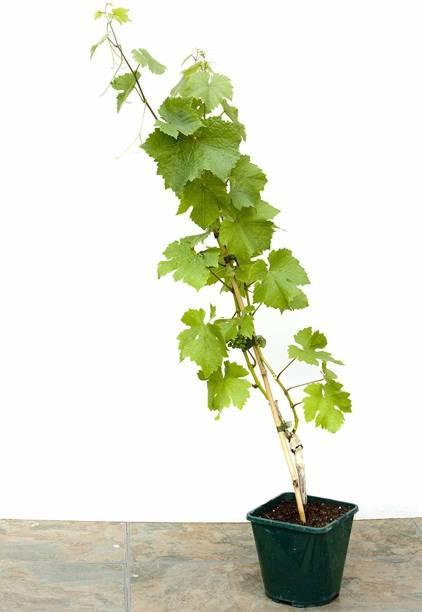 Vamsha Nature Care Grapes Plant
