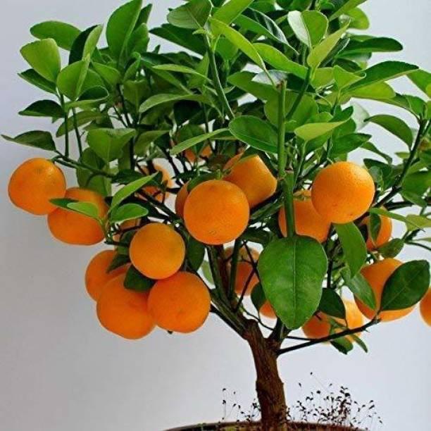 Natural Nursery Orange Plant