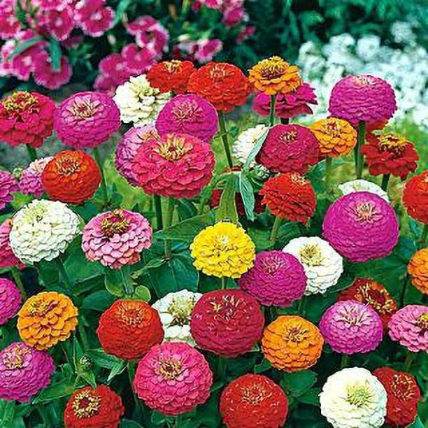 KOLKATA ORCHID ONLINE Zinnia Mix Flower Seeds (Pack Of 50) - round the year flower Seed