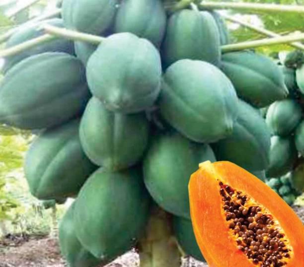 Naaz I&B F1 Hybrid Madhavi Dwarf Papaya Seeds Seed