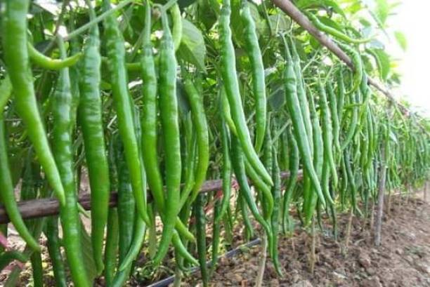 Paudha Green chilli Seed