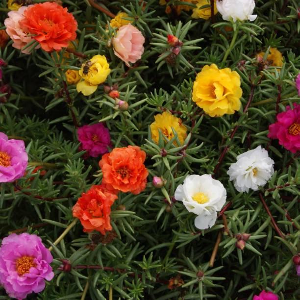 Paudha Portuluca Mixed / Rose Seed