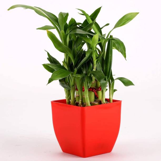 Vibrant Green Two Layer Bamboo Plant