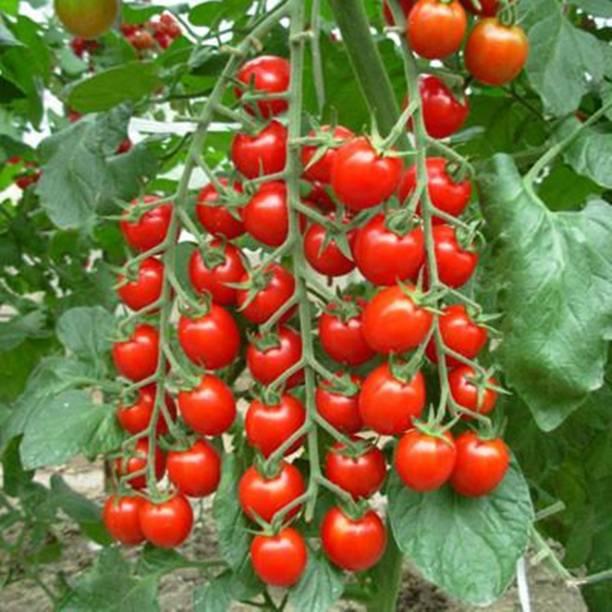 PMB Cherry Tomato Seed