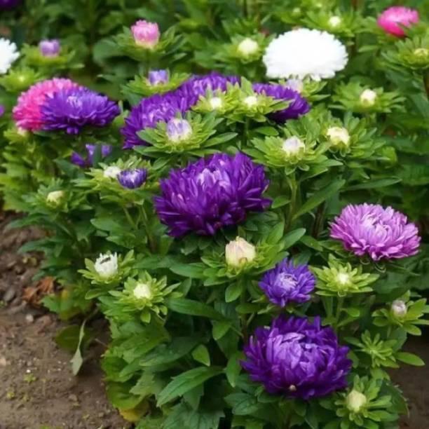 PMB Chrysanthemum Seed