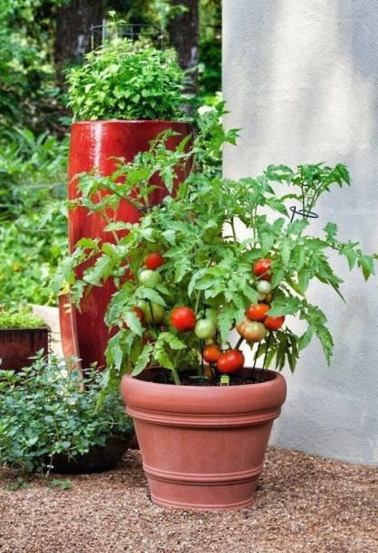 Paudha Tomato Seed