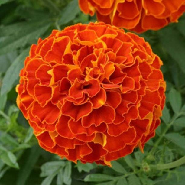 Kofy Marigold Seed