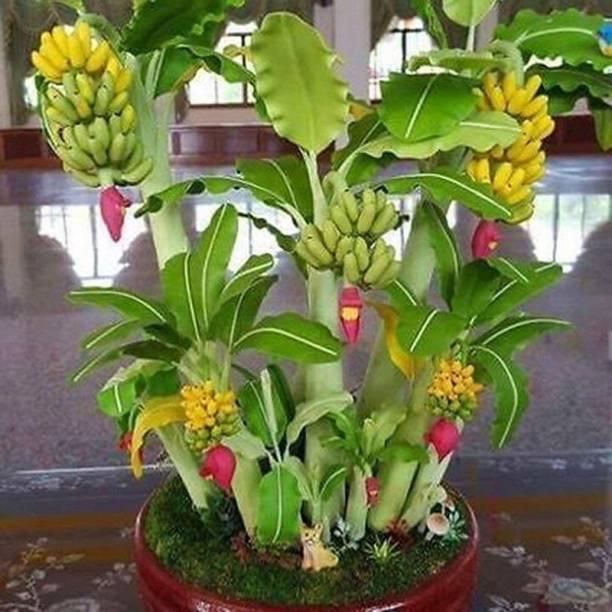 Earth Angels Banana Plant
